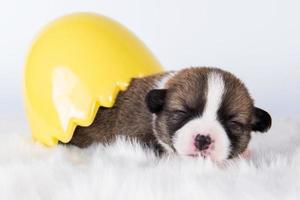 Portrait of Pembroke Welsh corgi puppy in Easter egg