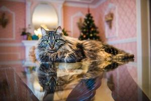 Portrait of Norwegian cat on glass table with Christmas tree in background