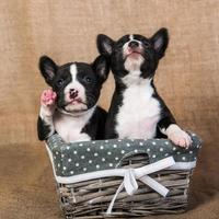 Portrait of two basenji puppies in a wooden basket