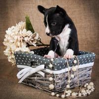 Portrait of a basenji puppy in a wooden basket with flowers photo