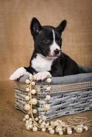 Portrait of a basenji puppy in a wooden basket