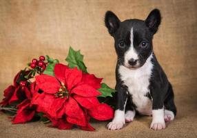 Funny Basenji puppy dog with poinsettia red flower