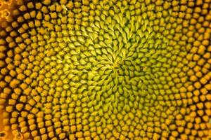 Close up middle of a sunflower photo