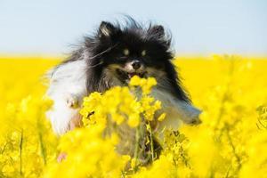 Pomeranian in field of rapeseed flowers