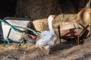 Goose next to wheelbarrows and hay