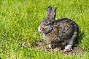 Gray rabbit sitting on green grass
