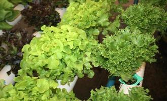 Mix of lettuce