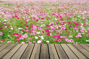 Wooden table over cosmos field photo