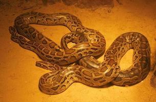 Python on the ground photo