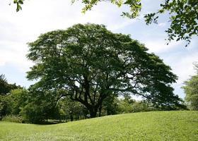 Big tree in green lawn photo