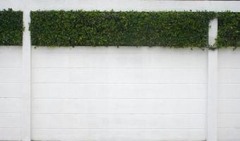 Ivy hedge on wall