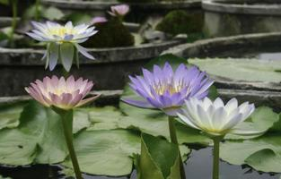 Colorful lotus flowers in pond photo
