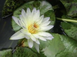 White and yellow lotus photo