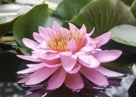Pink lotus flower in pond photo