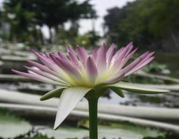 flor de nenúfar púrpura