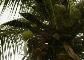 cocotero verde