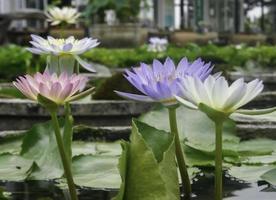 Beautiful waterlily flowers photo