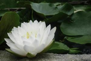 White lotus flower in pond photo