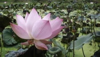 Pink flower in pond photo