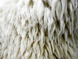 Close-up of sheepskin photo