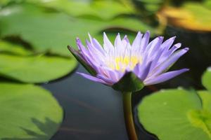 flor de loto púrpura en el estanque foto