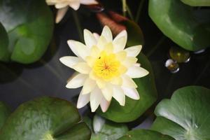 vista superior de la flor de loto blanca y amarilla foto