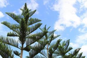 Pine trees against blue sky photo