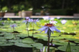 flores de loto púrpura en el estanque foto