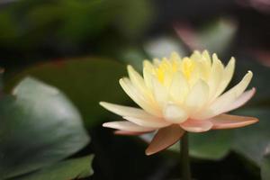 flor amarilla y rosa foto