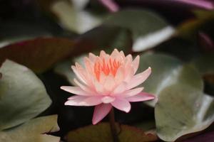 flor rosa en un estanque foto