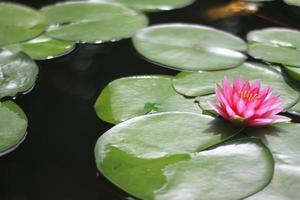 flor rosa y hojas de nenúfar foto