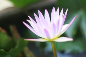 primer plano de loto púrpura foto