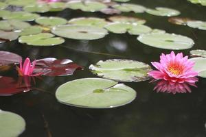 hermosas flores de nenúfar en el estanque foto