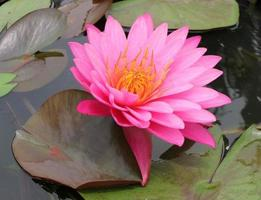 Bright pink waterlily photo