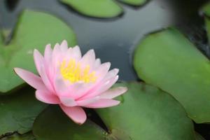 flor rosa y amarilla foto