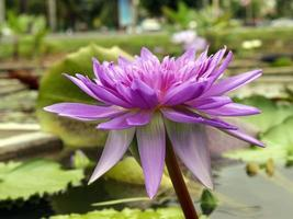 Purple waterlily in pond photo