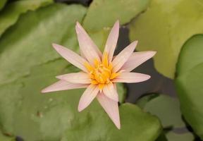 delicada flor de nenúfar