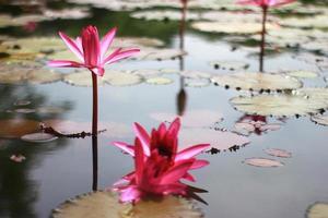 nenúfares rosados en el estanque foto