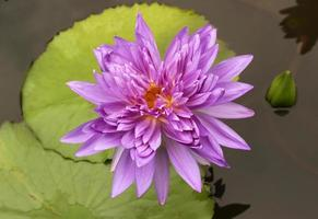 Delicate purple waterlily