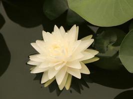 nenúfar blanco en el estanque