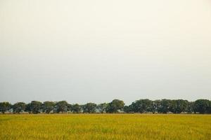 Mango trees on the rice field