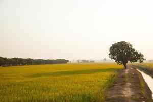 Tree on the rice field photo