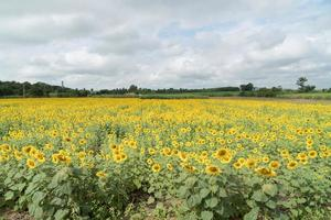 Sunflower field in summer