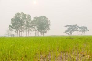 árboles en los campos de arroz foto
