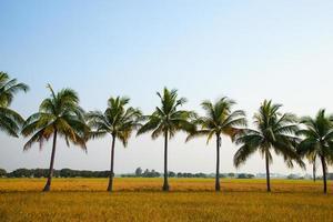 cocoteros en el campo de arroz foto