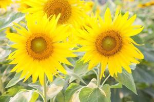Sunflowers on the sunflower field photo