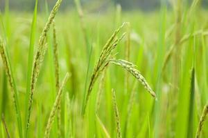 arroz en el campo de arroz