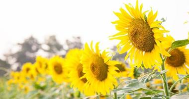 Sunflower on the sunflower field photo