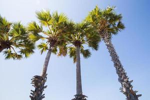 Sugar palms by the sea