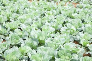 Cabbage farm in Thailand